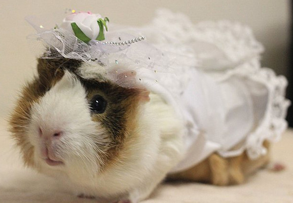 Guinea Pig Wigs Are Things You Can Buy Now
