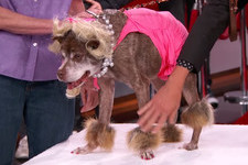 Quasimodo, the World's Ugliest Dog Got a Bizarre Late Night Makeover
